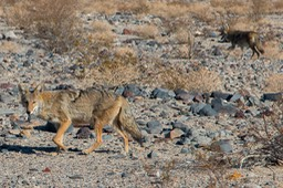 coyote panamint 3-1
